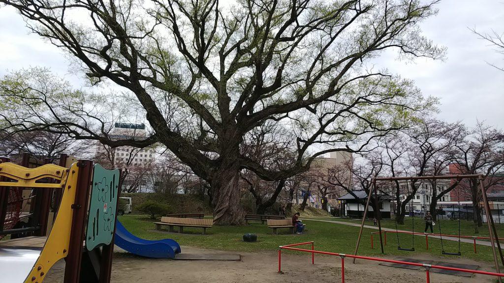 シロヤナギの樹