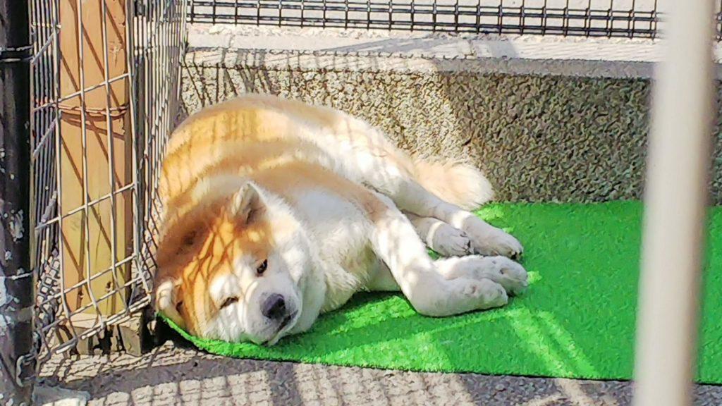 秋田犬会館 ぷーこ