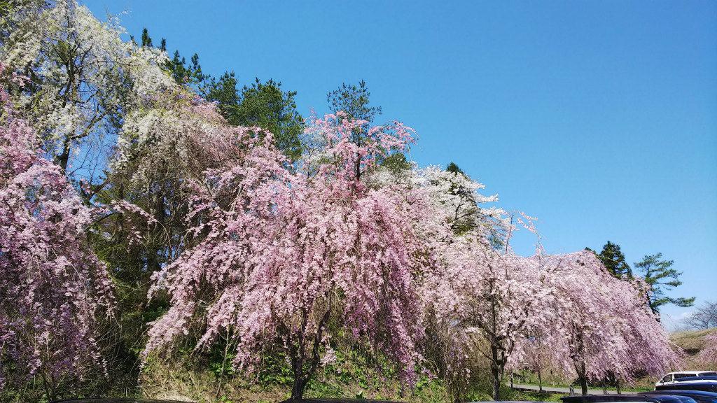 枝垂桜 中央公園