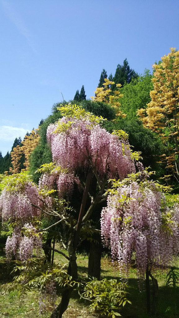 十ノ瀬 藤の花